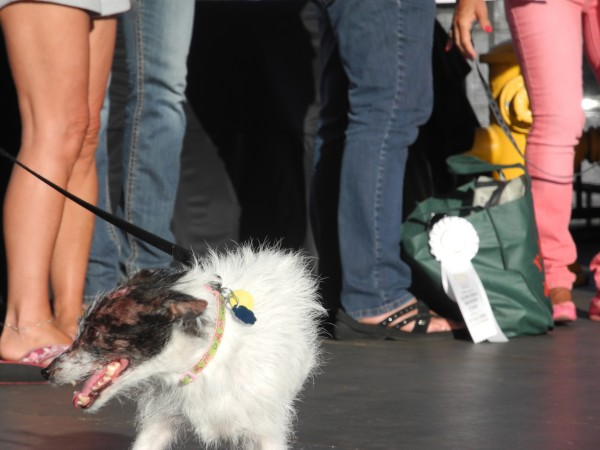 Faith, a contestant in The World's Ugliest Dog Contest